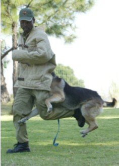 Protection Dog attacking an intruder