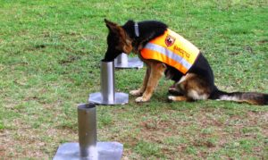 Substance Detection Dog K9 (Canine) – Braveheart Bio-Dog Academy