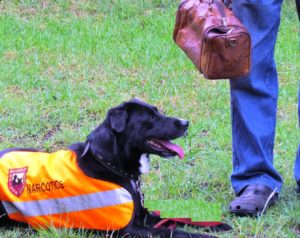 Narcotic Drug Detection Dog K9 (Canine) - Mike