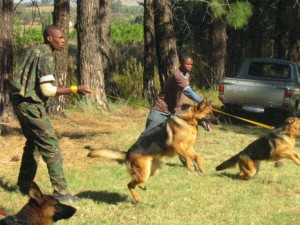 Trained-patrol-dogs-in-training