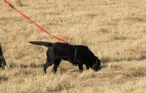 Tracker Dog - Anti-Poaching Dog K9 (Canine) - Fransie