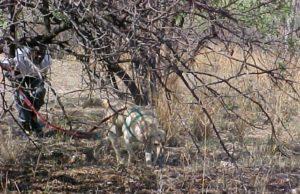 Tracker Dog - Anti-Poaching Dog K9 (Canine) - Lulu